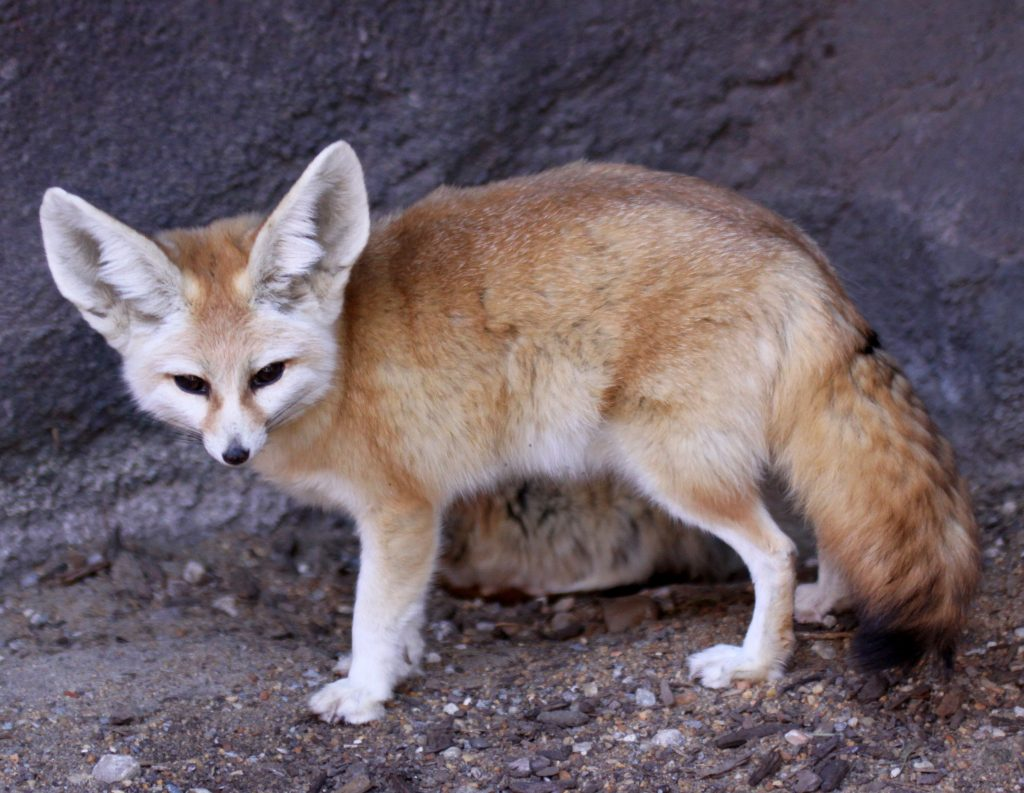 Fennec Fox - legal pet Canada