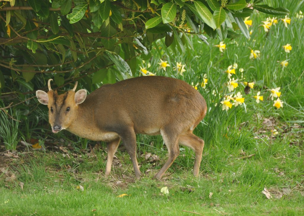Muntjac Deer - legal pet Canada