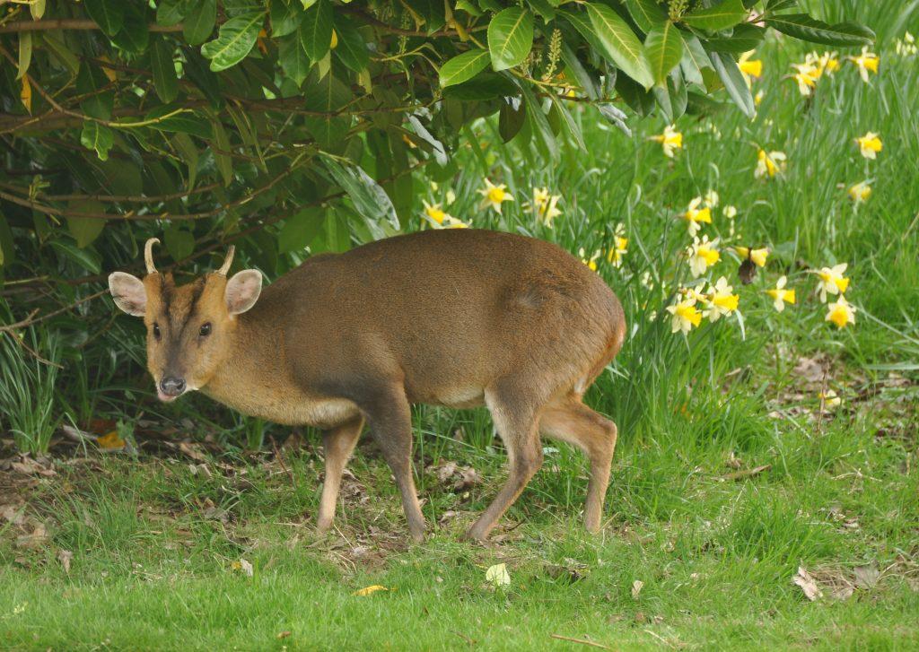 Muntjac Deer - legal pet Canada