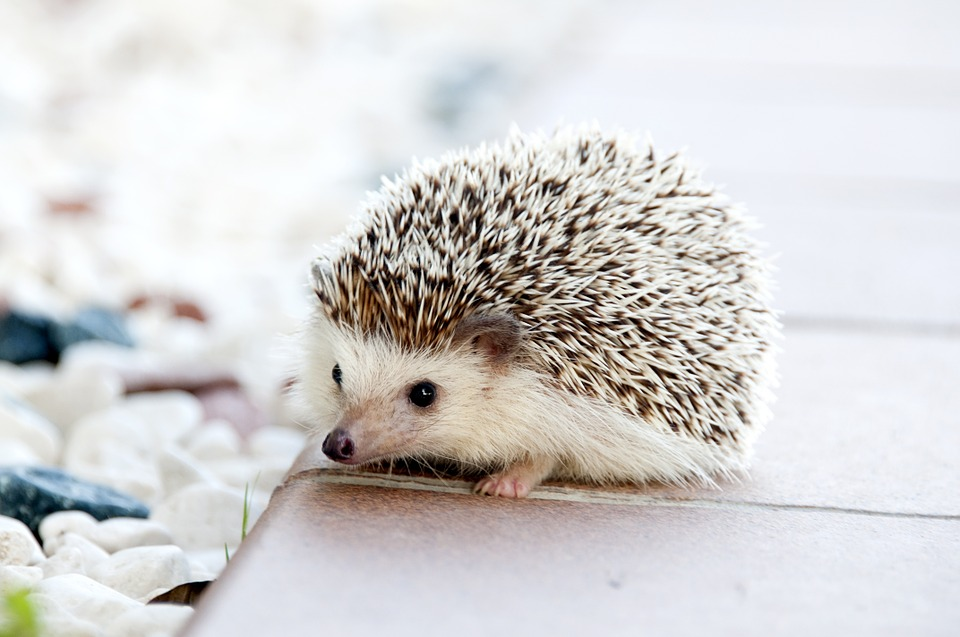 Hedgehog - legal pet Canada