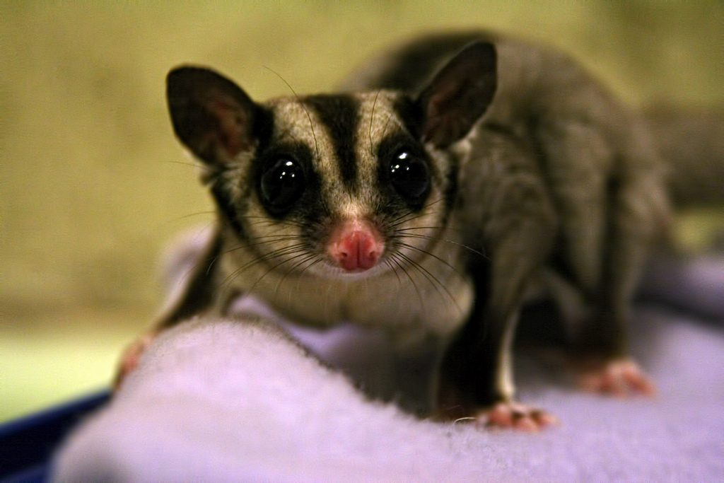 Sugar Glider - legal pet Canada