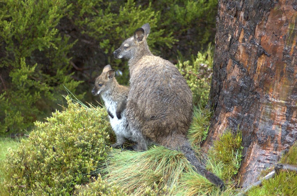 Wallaby - legal pet in Canada